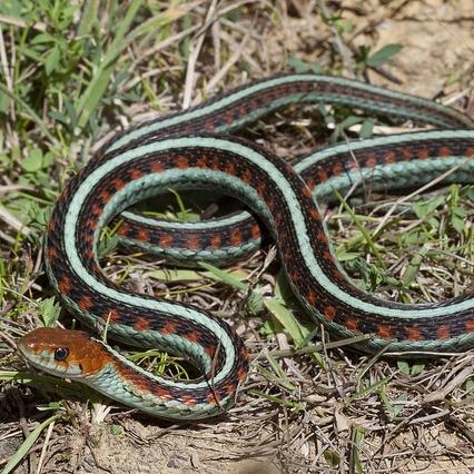 photo Tamnophis Reptiles