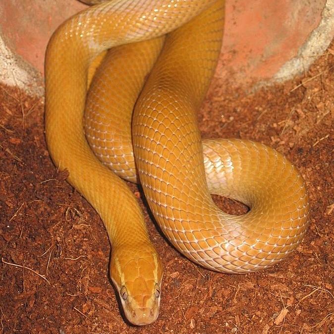 photo Boaedon Fuliginosus Reptiles
