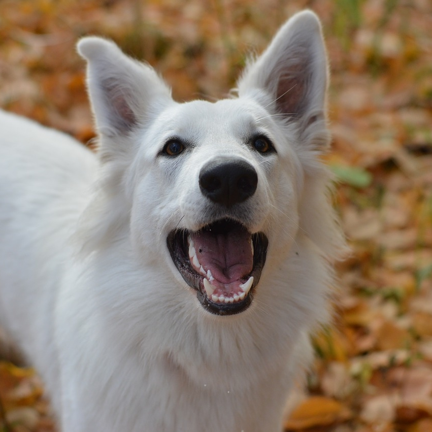 photo Berger Blanc Suisse Chiens