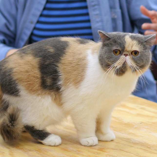 photo Exotic Shorthair Chats