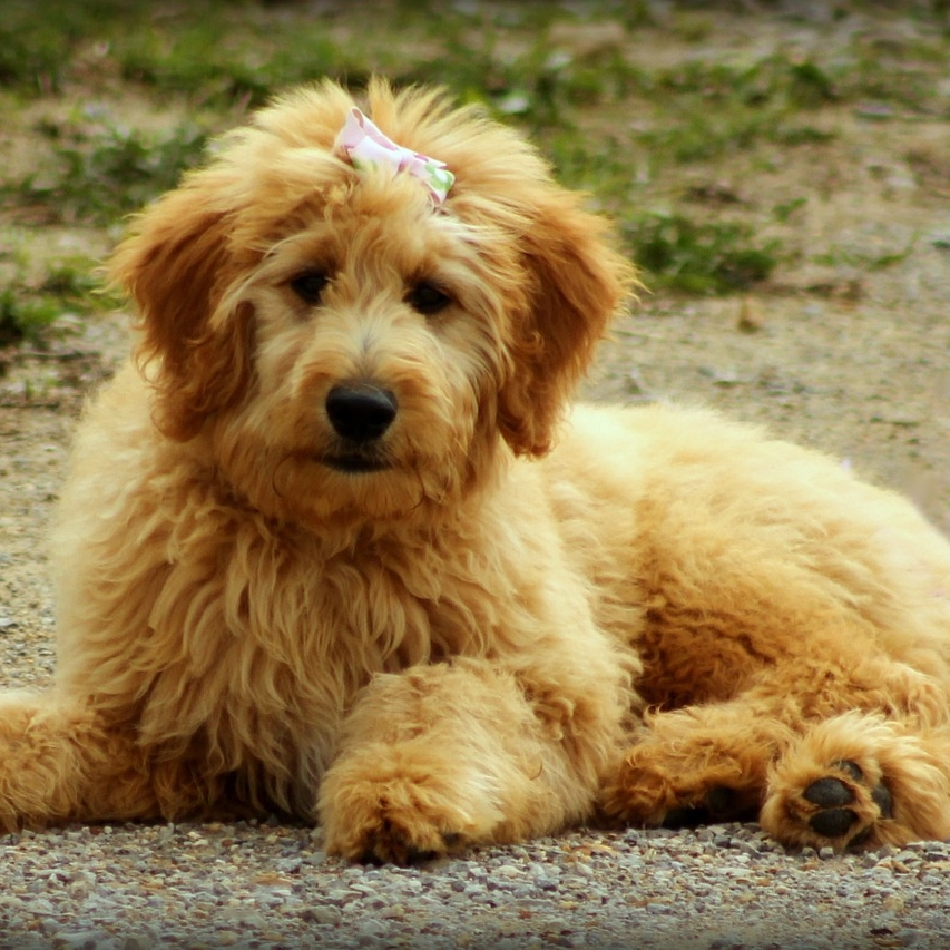 photo Goldendoodle Chiens