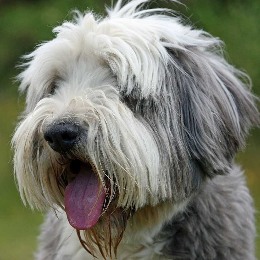 photo Bearded Collie Chiens