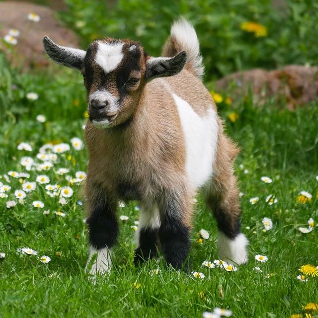 photo Chèvre naine Autres animaux