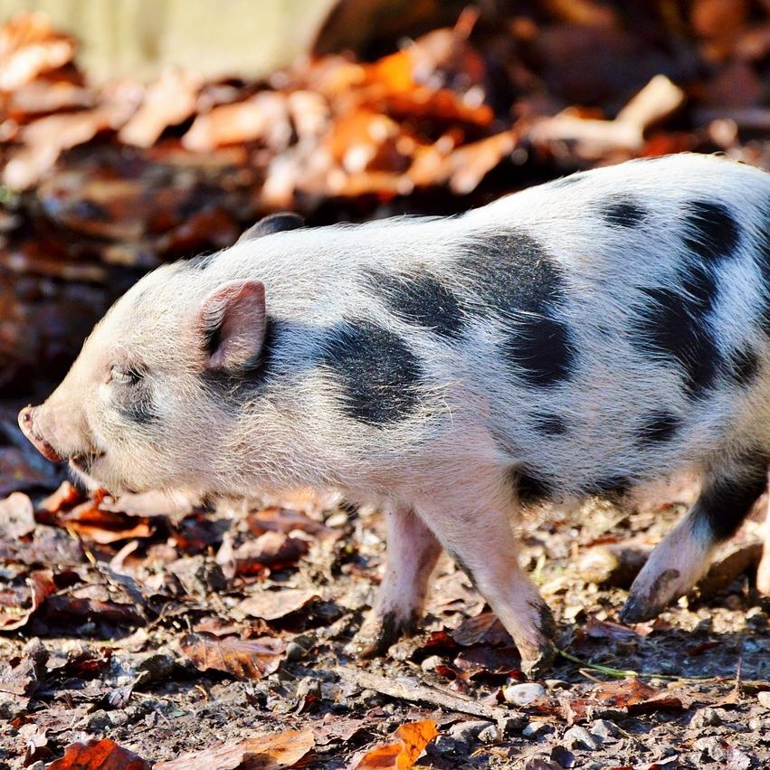 photo Cochon nain Autres animaux