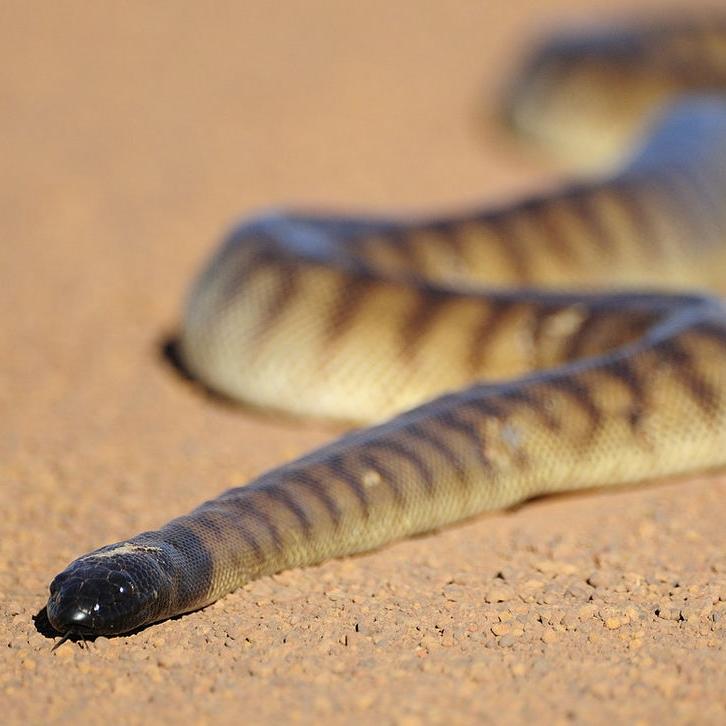 photo Python à tête noire Reptiles