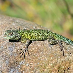 photo Sceloporus Malachiticus Reptiles