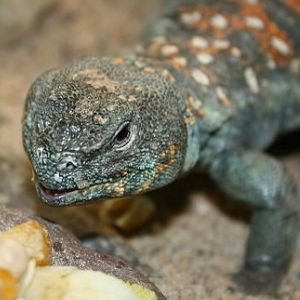 photo Uromastyx occelata Reptiles