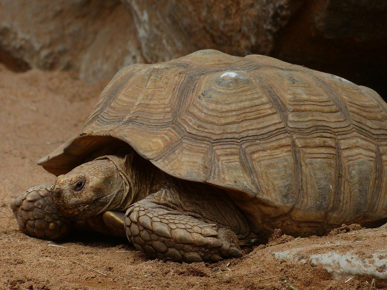 photo Tortue sillonnée (Sulcata) Reptiles