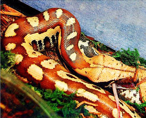 photo Python malais / curtus Reptiles