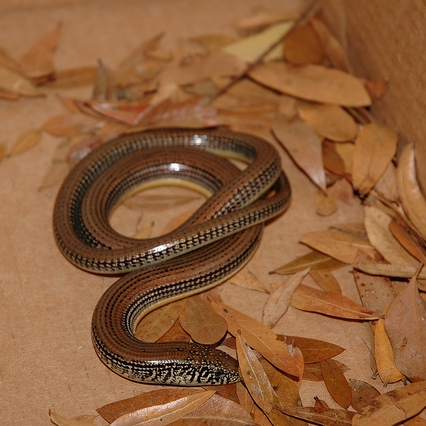 photo Ophisaure (Orvet) Reptiles