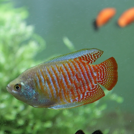 photo Gourami nain Poissons