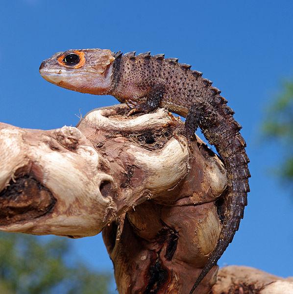 photo Scinque crocodile Reptiles