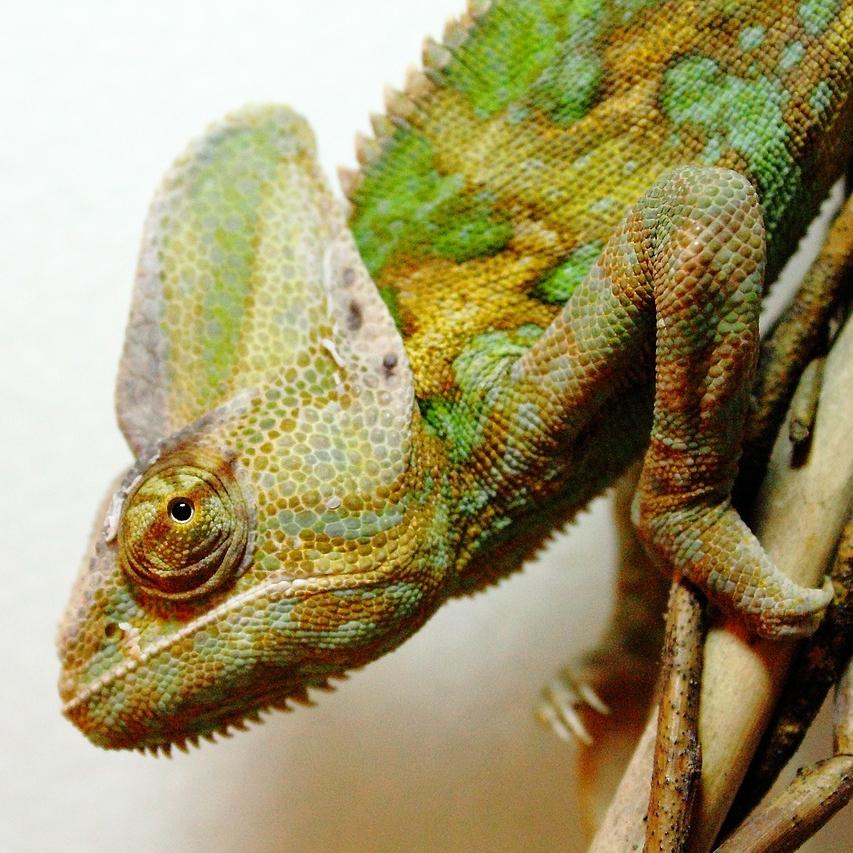photo Caméléon casqué du Yémen Reptiles