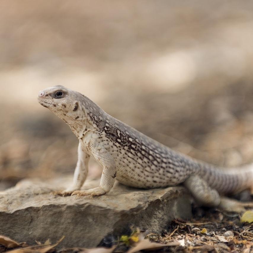photo Iguane du désert Reptiles