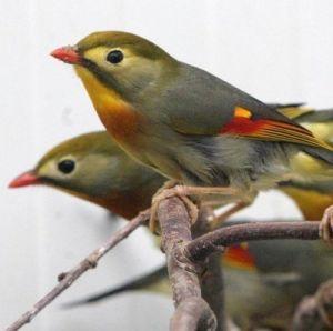 photo Rossignol du Japon Oiseaux