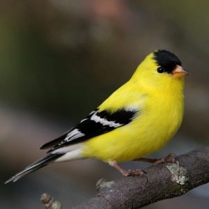 photo Chardonneret Oiseaux
