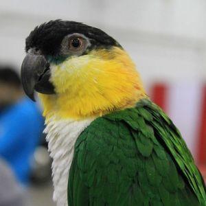 photo Caïque à tête noire Oiseaux