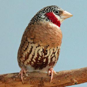 photo Amadine cou-coupé Oiseaux
