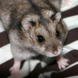 photo Hamster de Campbell Rongeurs