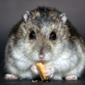 photo Hamster russe Rongeurs