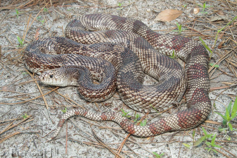 photo Serpent des pins de Floride Reptiles