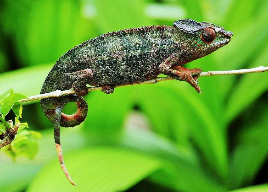 photo Caméléon panthère Reptiles