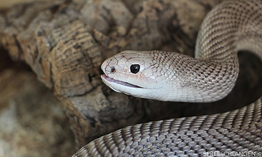 photo Serpent des pins du nord Reptiles