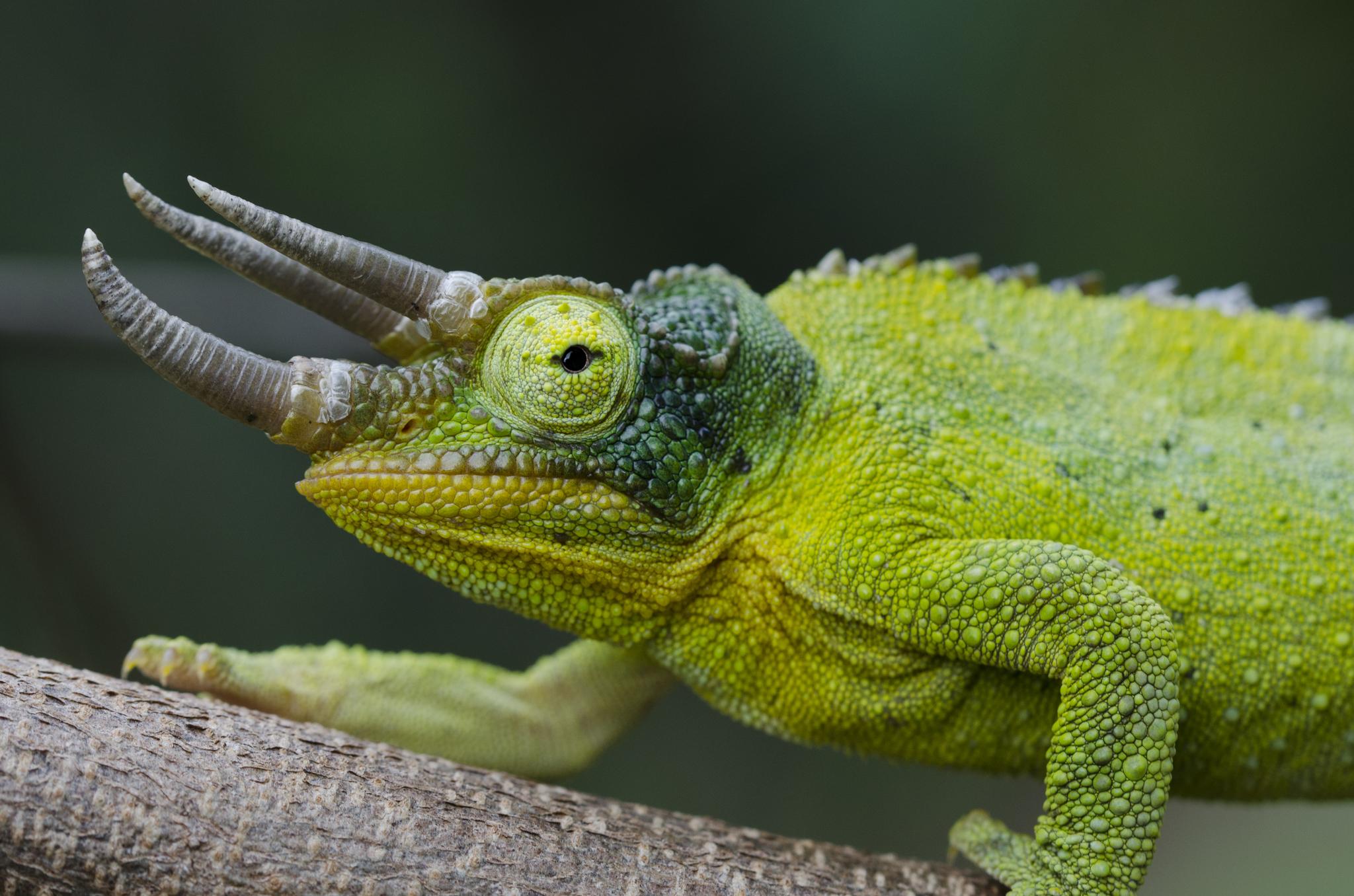 photo Caméléon de Jackson Reptiles