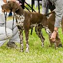 Inscription au LOF et confirmation des chiens de race