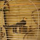 La cage idéale pour une perruche Callopsitte