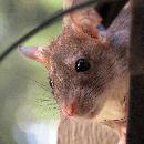 Comportement du rat : quelques pistes