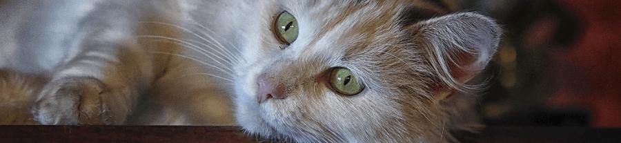 Les principales maladies du chat et leurs symptômes