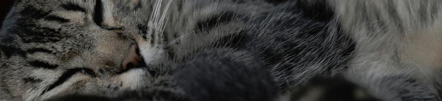 La Toxoplasmose chez le chat