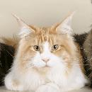 Top 10 des races de chat les plus chères