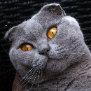 Le Chat Scottish fold
