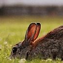 Un lapin peut-il vivre en liberté à la maison?