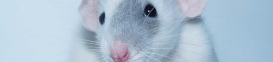 Conseils pour une ratte gestante
