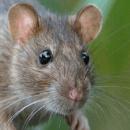 Adopter un rat: quoi acheter ?