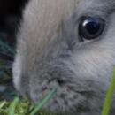 Le lapin bélier: prix et comportement