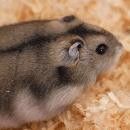 Comment s'occuper d'un hamster russe ?