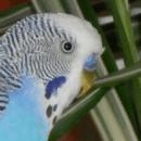 Fiche technique : La perruche ondulée