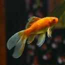 Tout savoir sur le poisson rouge