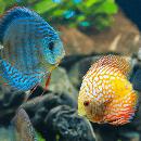 Choisir ses poissons d'aquarium