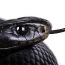 Les serpents les plus dangereux pour l'homme