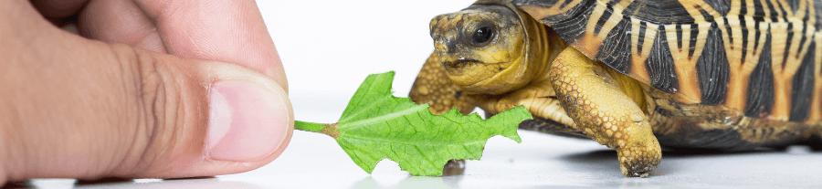 Comment nourrir sa tortue terrestre ?