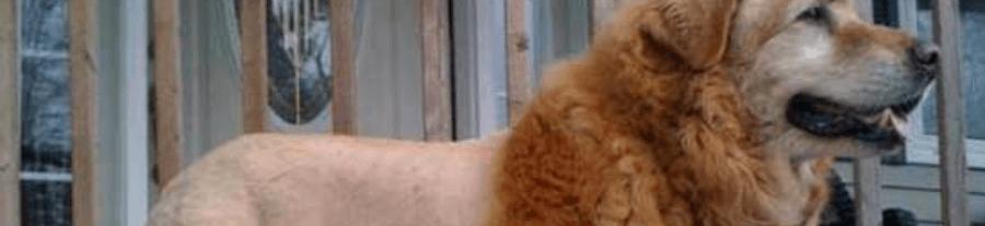 Les pires toilettages de chiens
