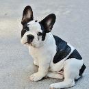 Top 10 des chiens préférés des français