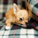 Quelques conseils avant d'acheter un chien