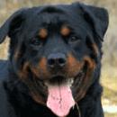 Permis de détention de chiens dangereux