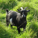 Comment élever une chèvre naine ?